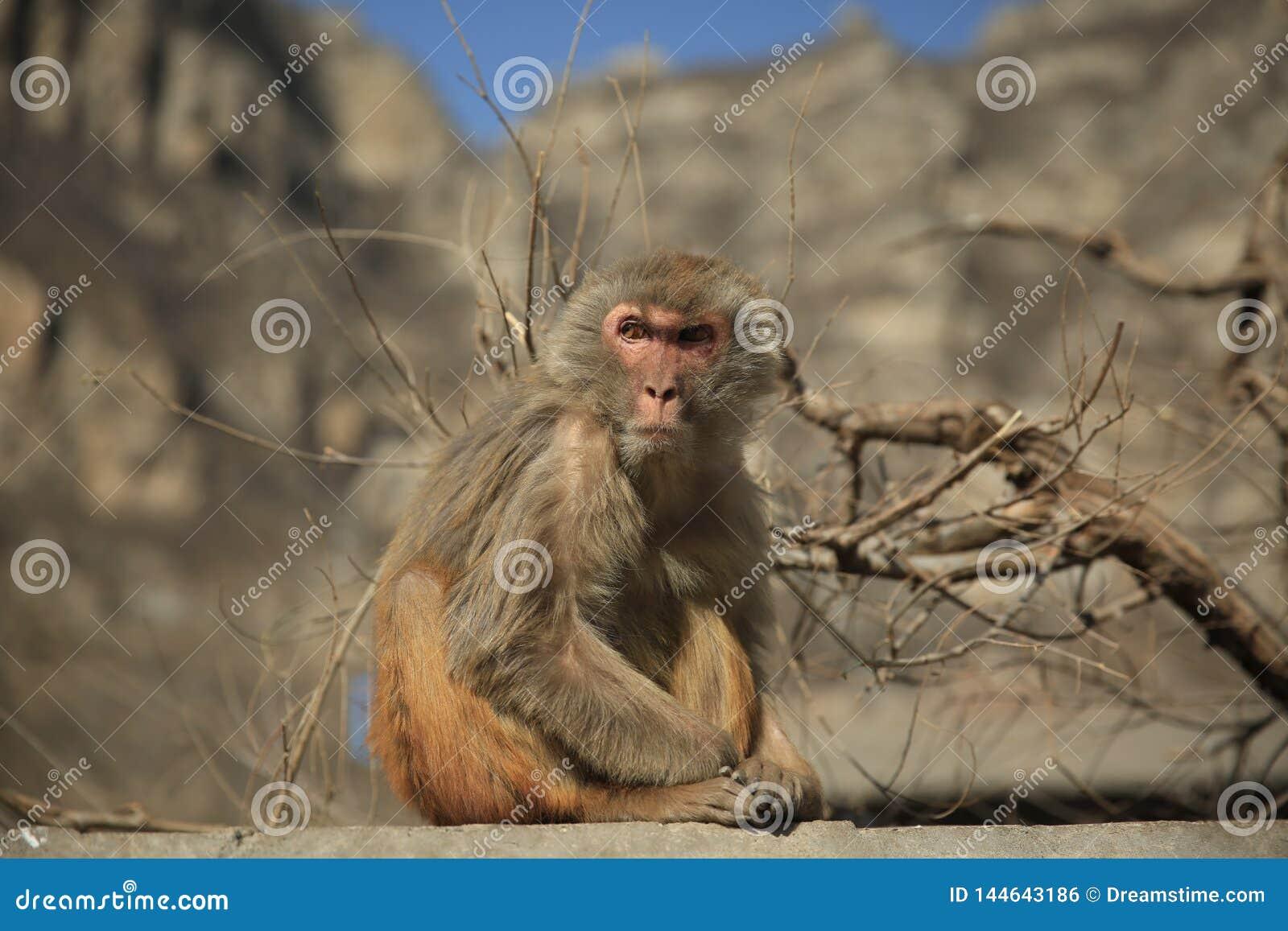Macaco irritado bonito