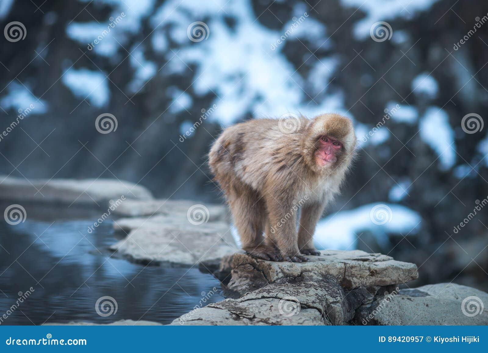 Macaco japonês da neve no parque do macaco da neve