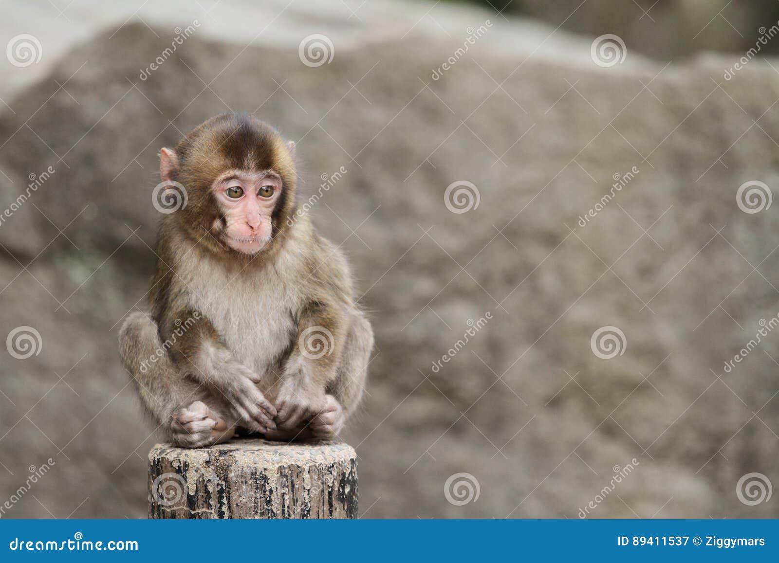 Macaco japonês selvagem do bebê