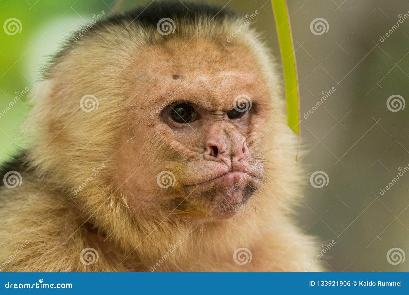 Macaco mal-humorado