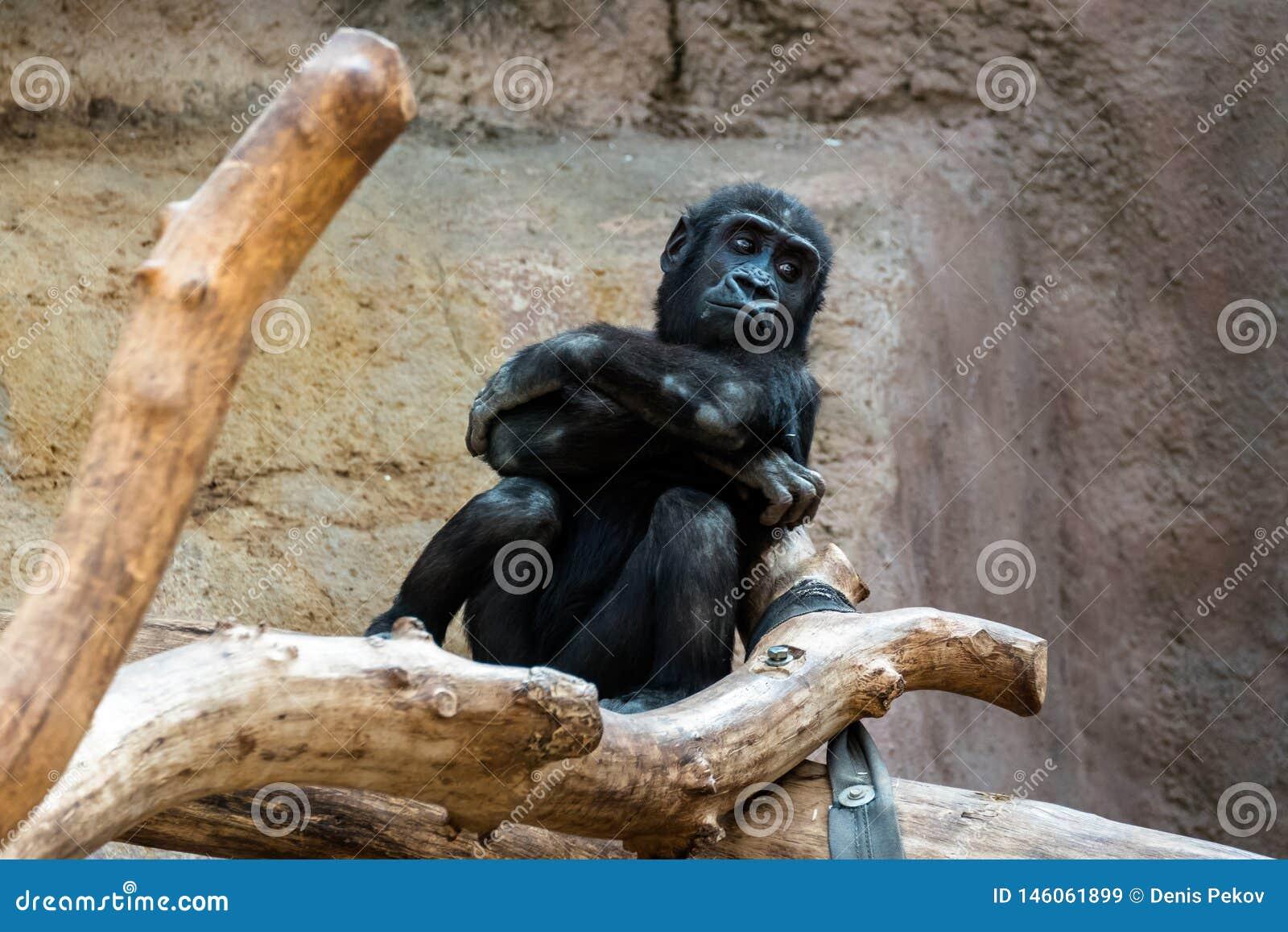 Macaco no