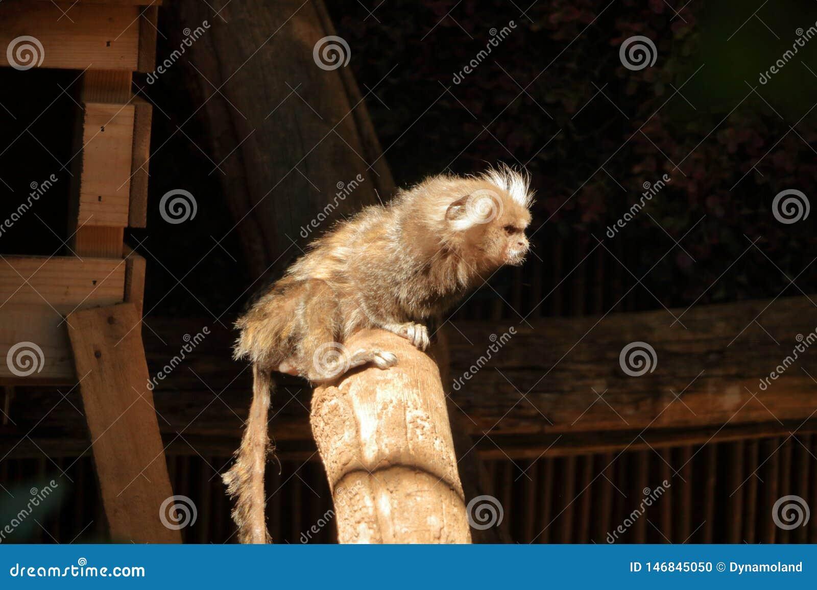 Macaco pequeno conhecido popularmente como o Sagit?rio Branco-atado, jacchus do Callithrix
