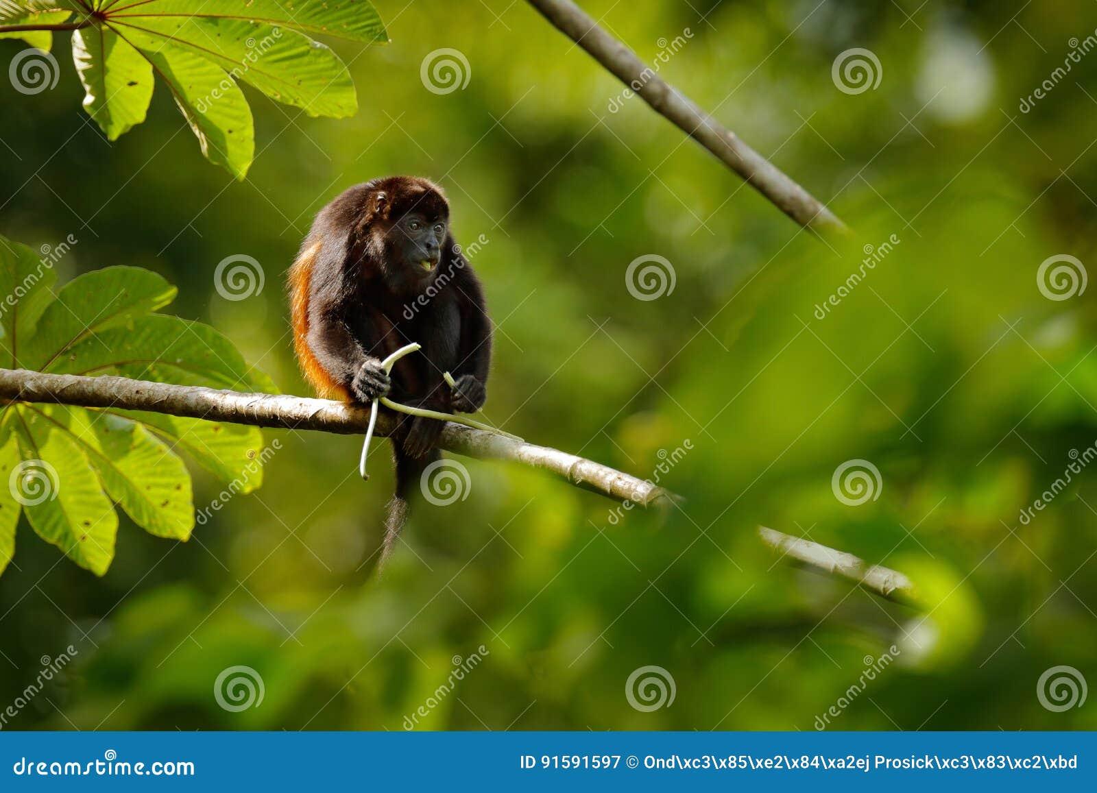 Macaco preto Palliata envolvido do Alouatta do macaco de furo no habitat da natureza Macaco preto que alimenta no macaco do preto