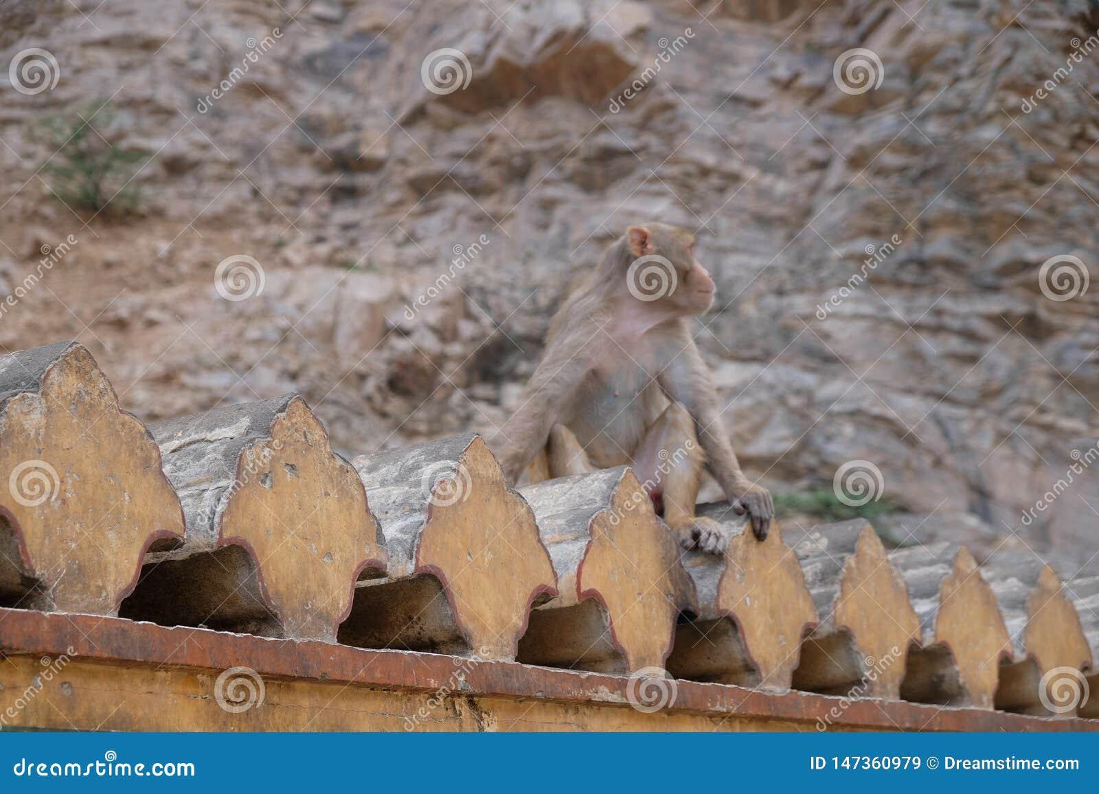 Macaco que assenta tão fresco em sua parede, Rajasthan, Índia