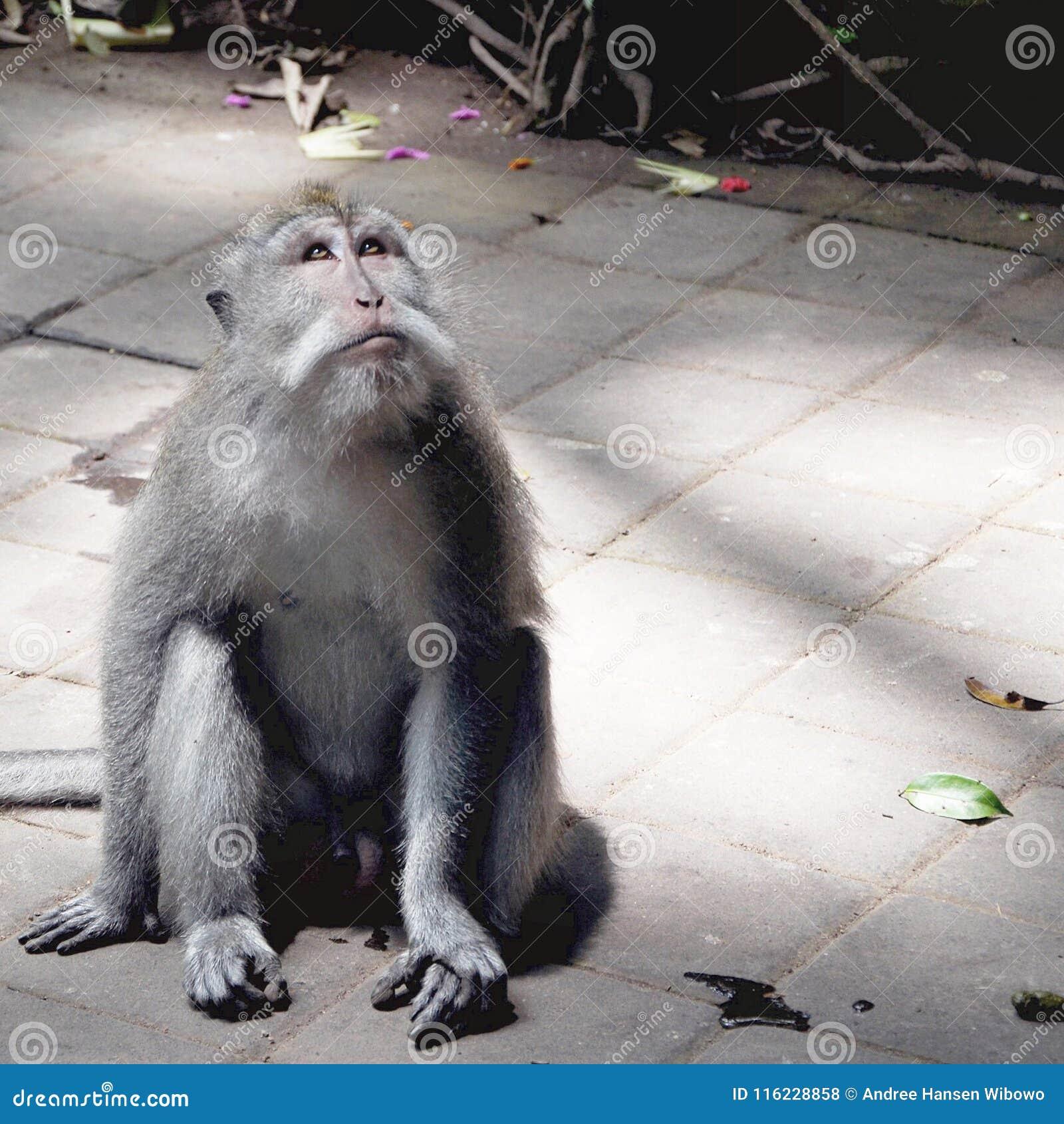 Macaco que olha para cima