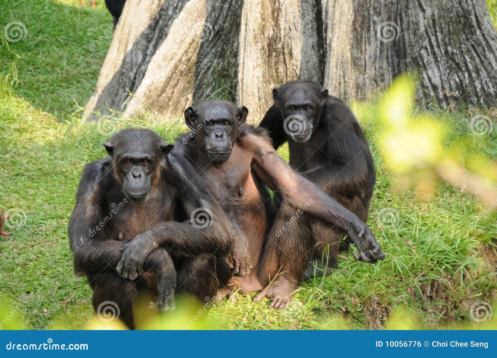 Macaco três