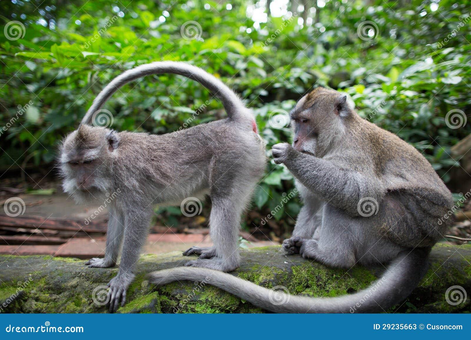 Download Macacos imagem de stock. Imagem de macaco, neve, dois - 29235663