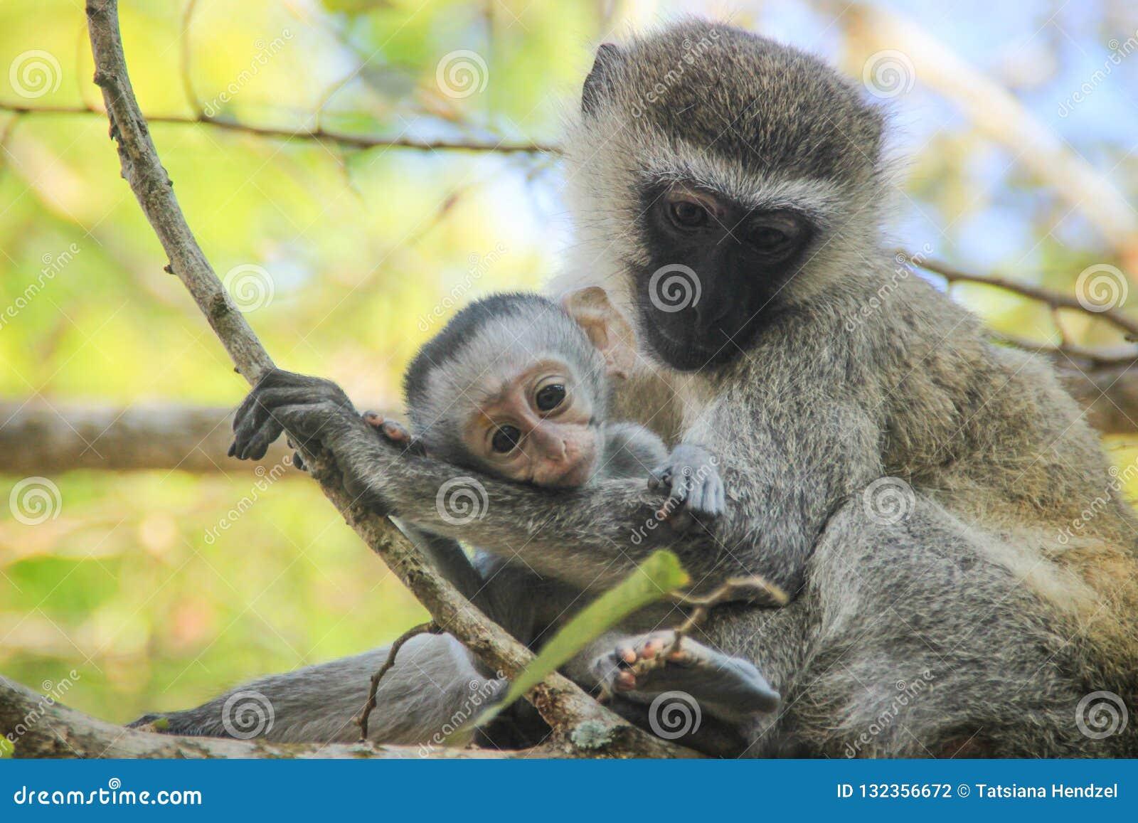 Macacos bonitos e tocantes da mamã e do bebê Cuidado e amor