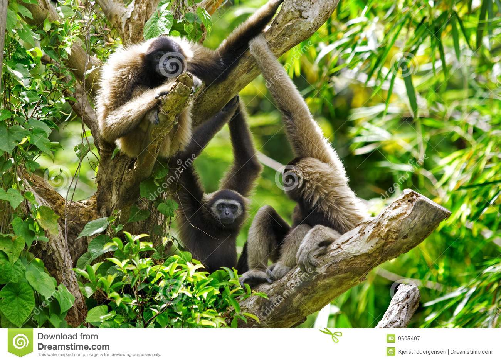 Macacos do Gibbon