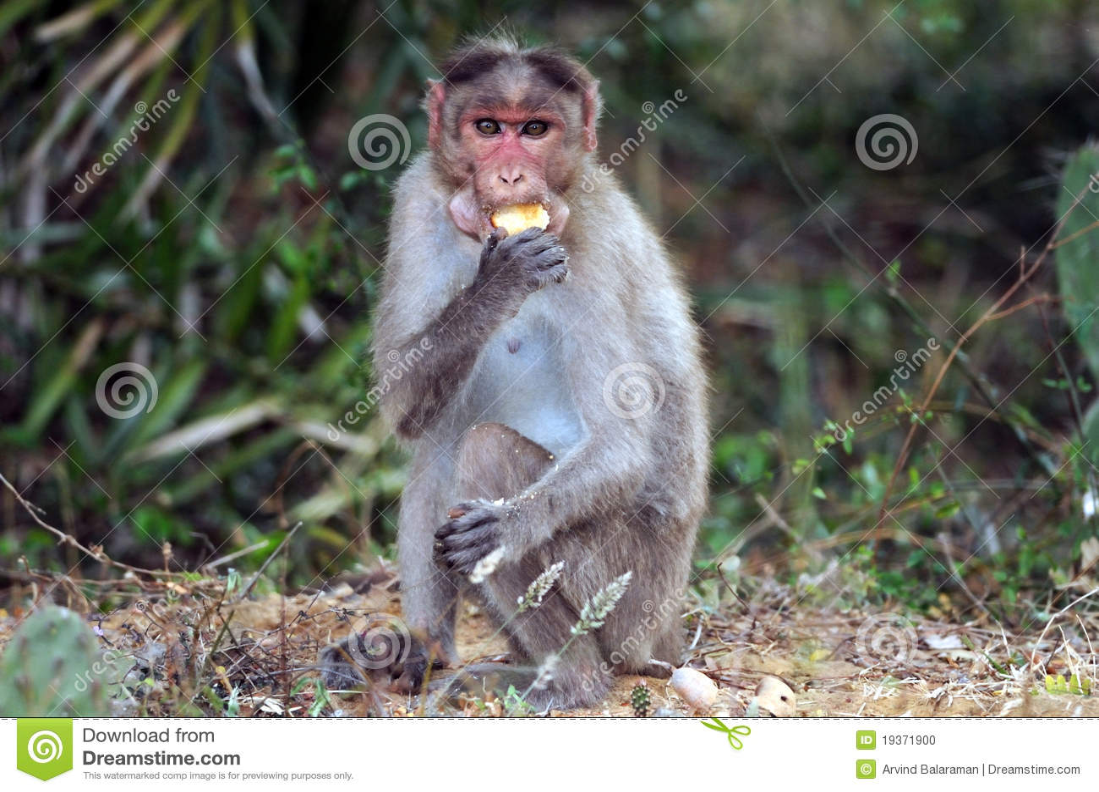 Macaque de capota