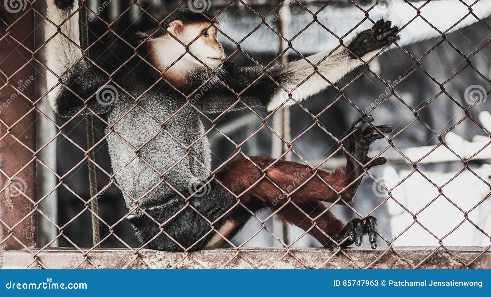 Macaque in een dierentuinkooi