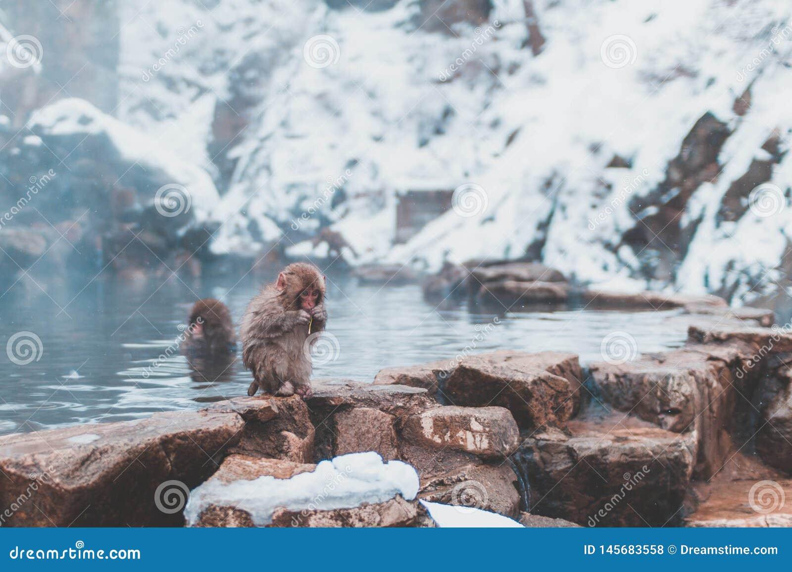 Macaque japonais de bébé