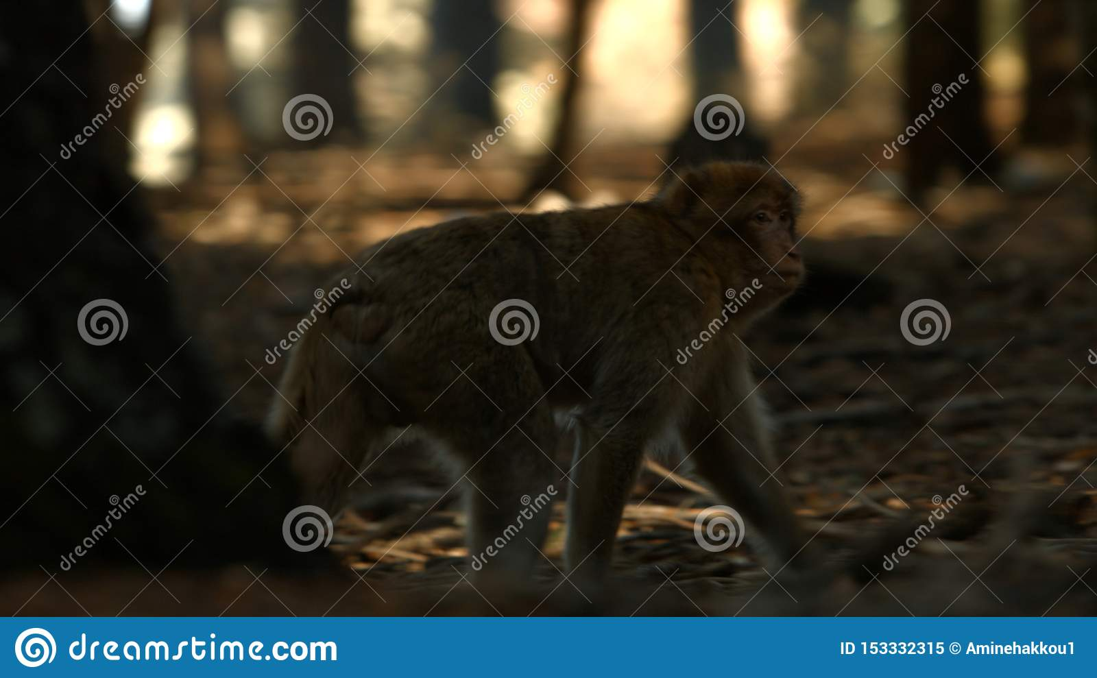 Macaque monkey in Azrou forest, Moroccan atlas