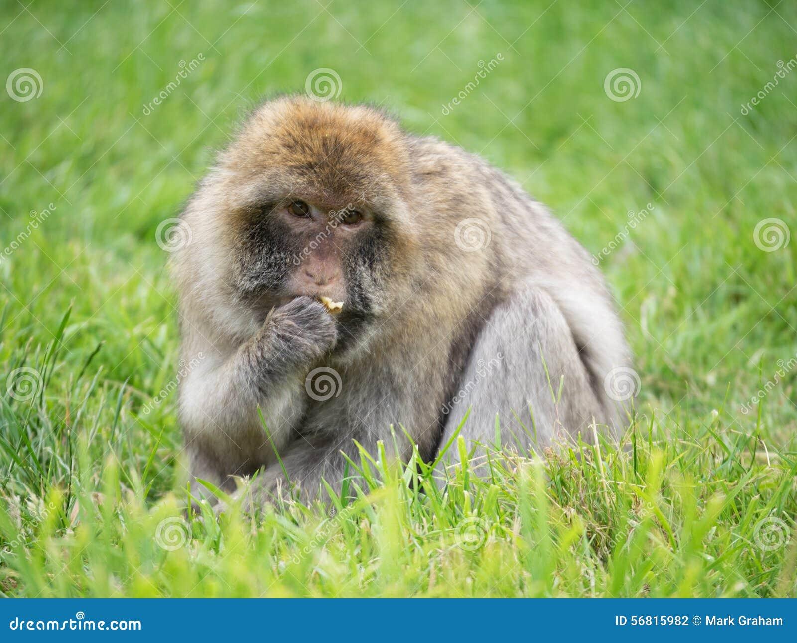 macaque stock photo   image 56815982