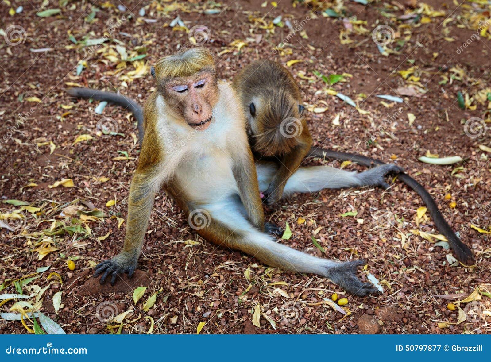 Macaque Monkey Foreplay Stock Photo - Image 50797877-7270