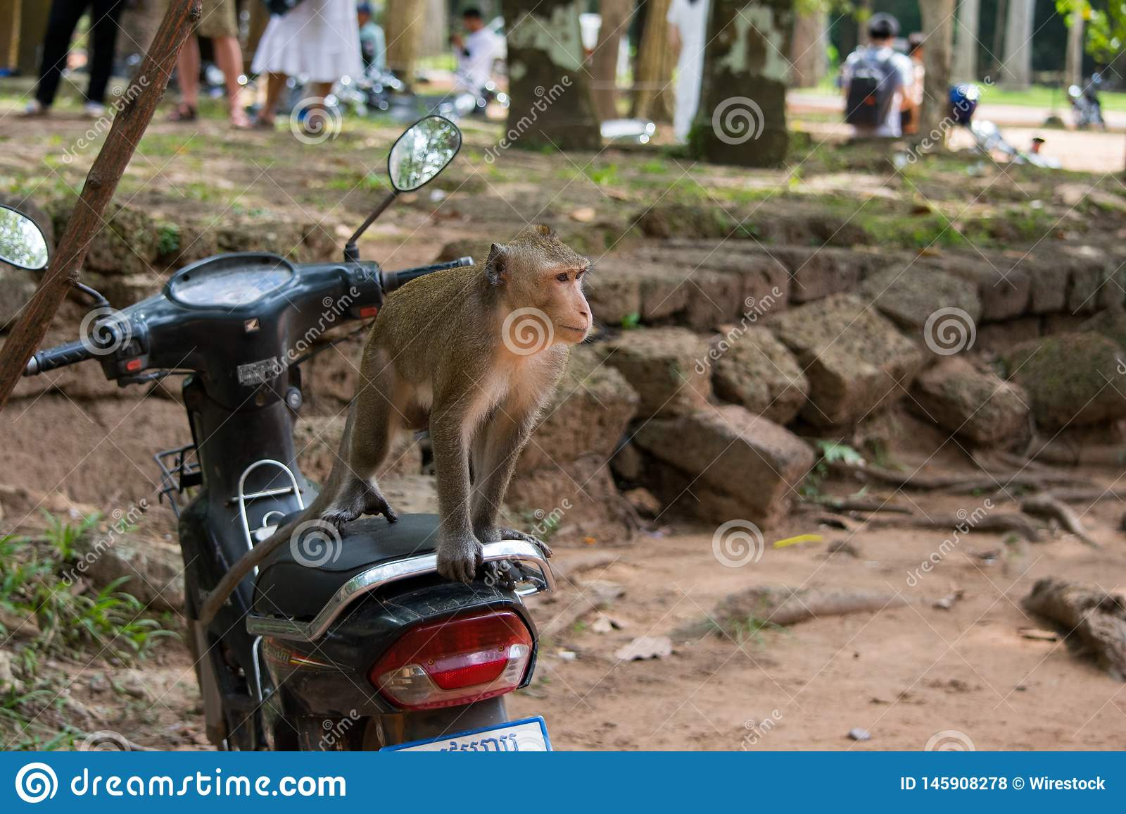 Macaque Monkey on a motor bike