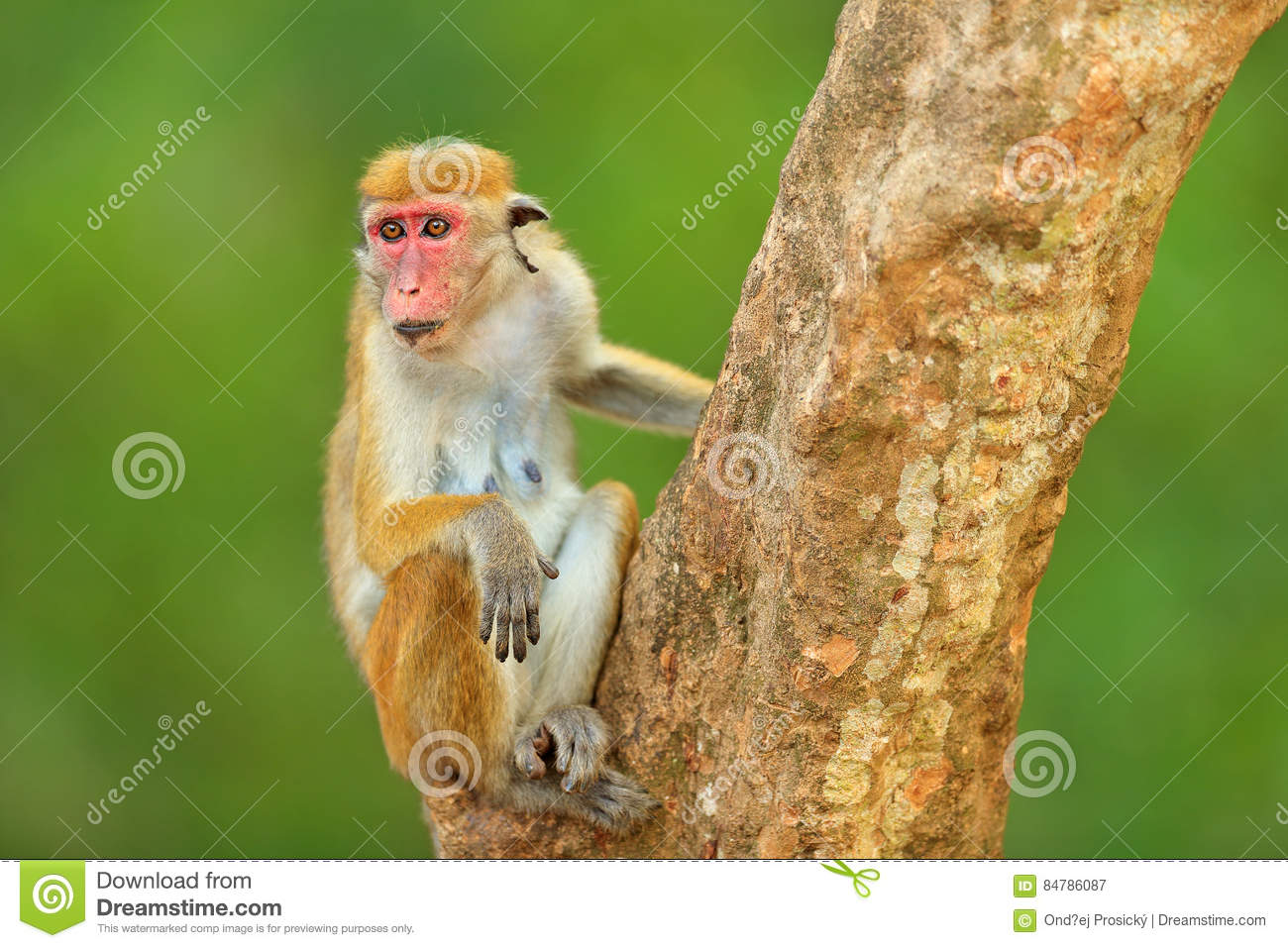 an introduction to the nature of the macaque monkeys The macaques constitute a genus (macaca) of old world monkeys of the  subfamily  they can also survive in completely natural settings with no humans  present the ecological and  primate anatomy: an introduction academic  press p.