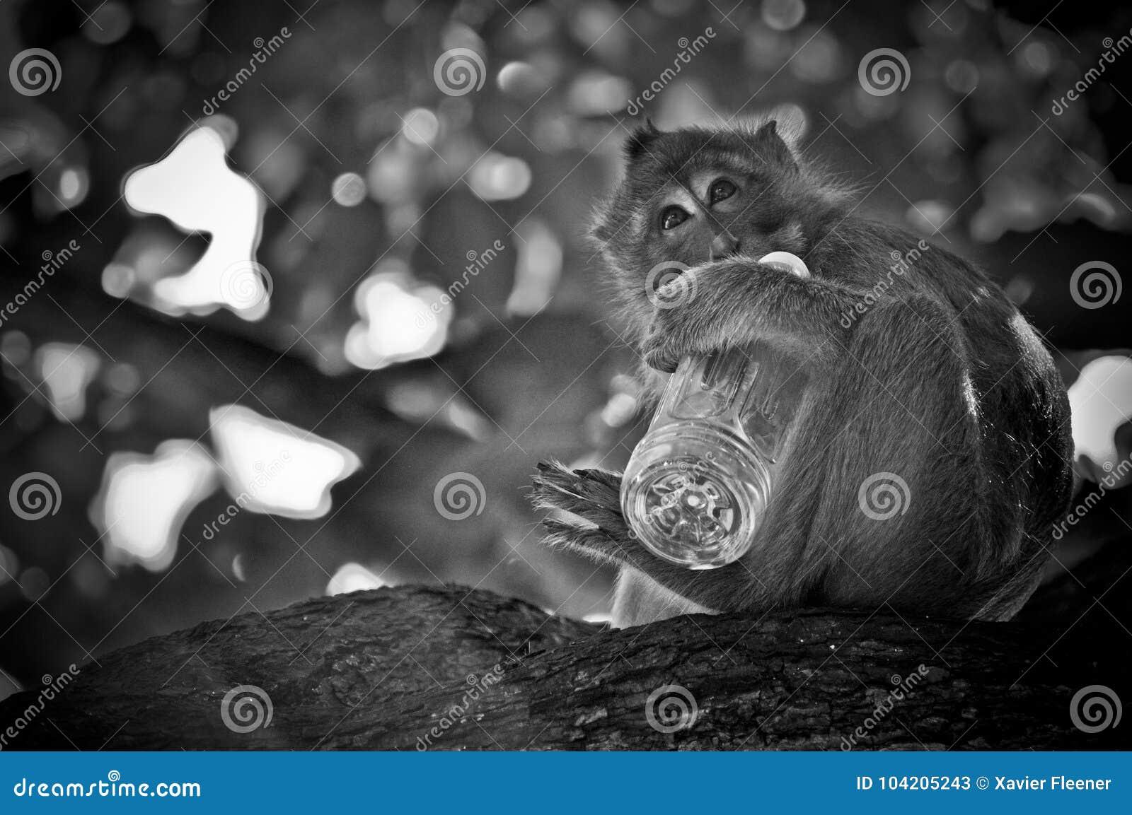 Macaque novo que bebe em uma garrafa da água