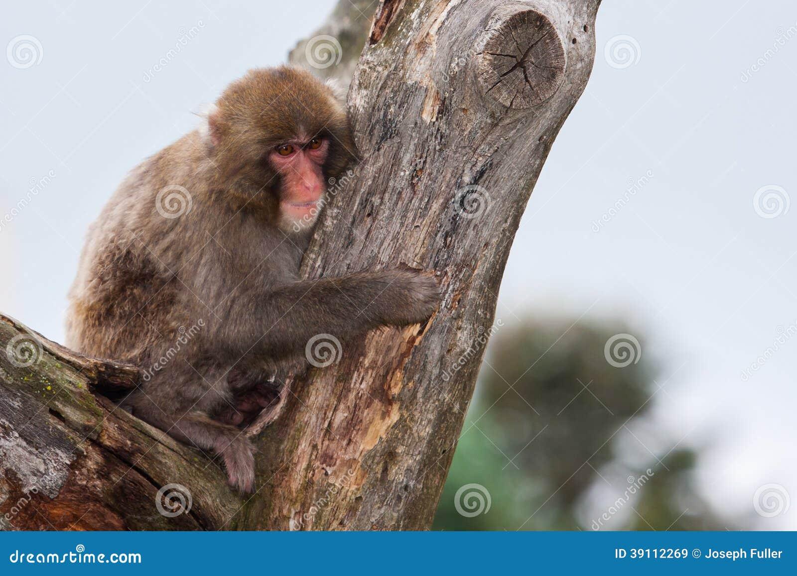 Macaque (Sneeuw) Aap