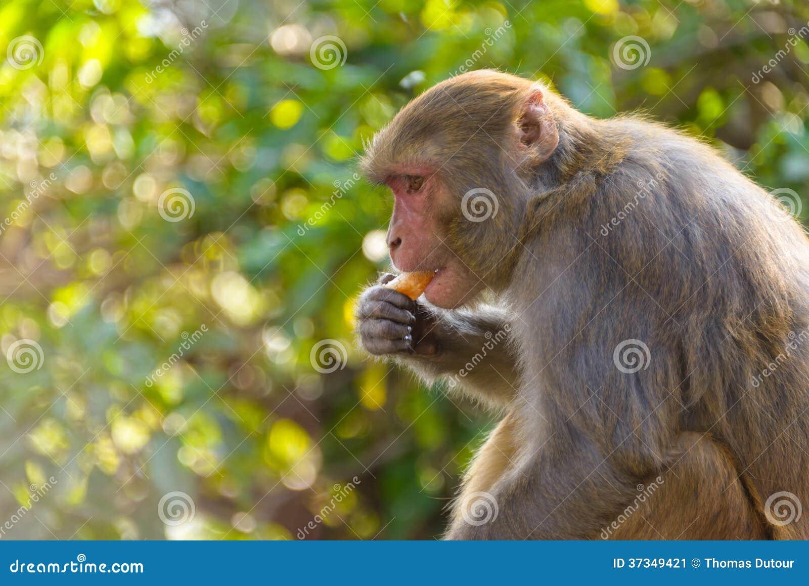 Macaque som äter en apelsin