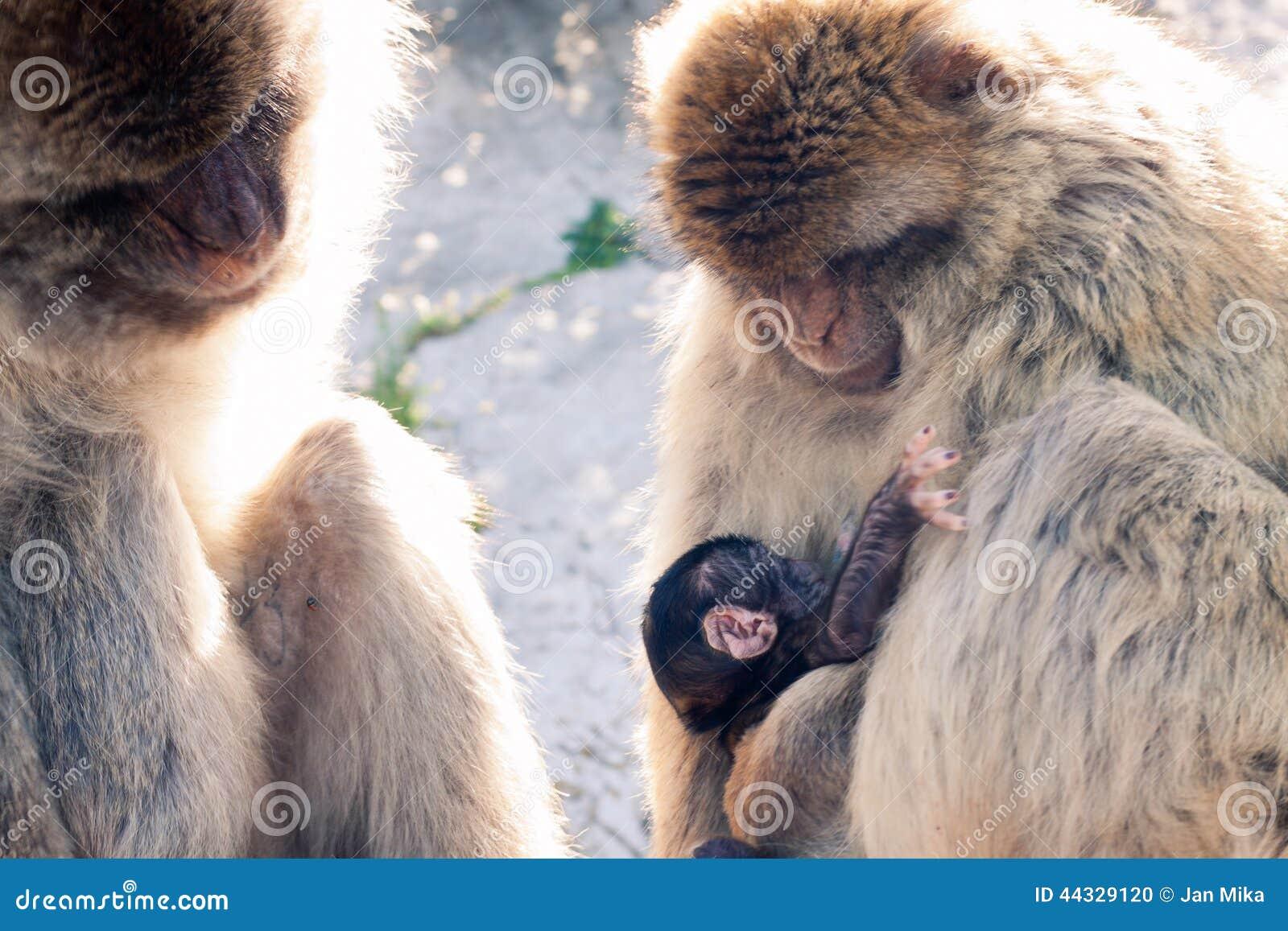 Macaques de Barbary
