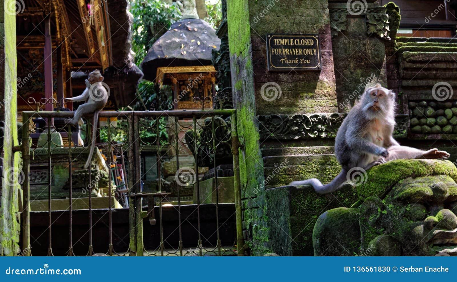 Macaques de cauda longa