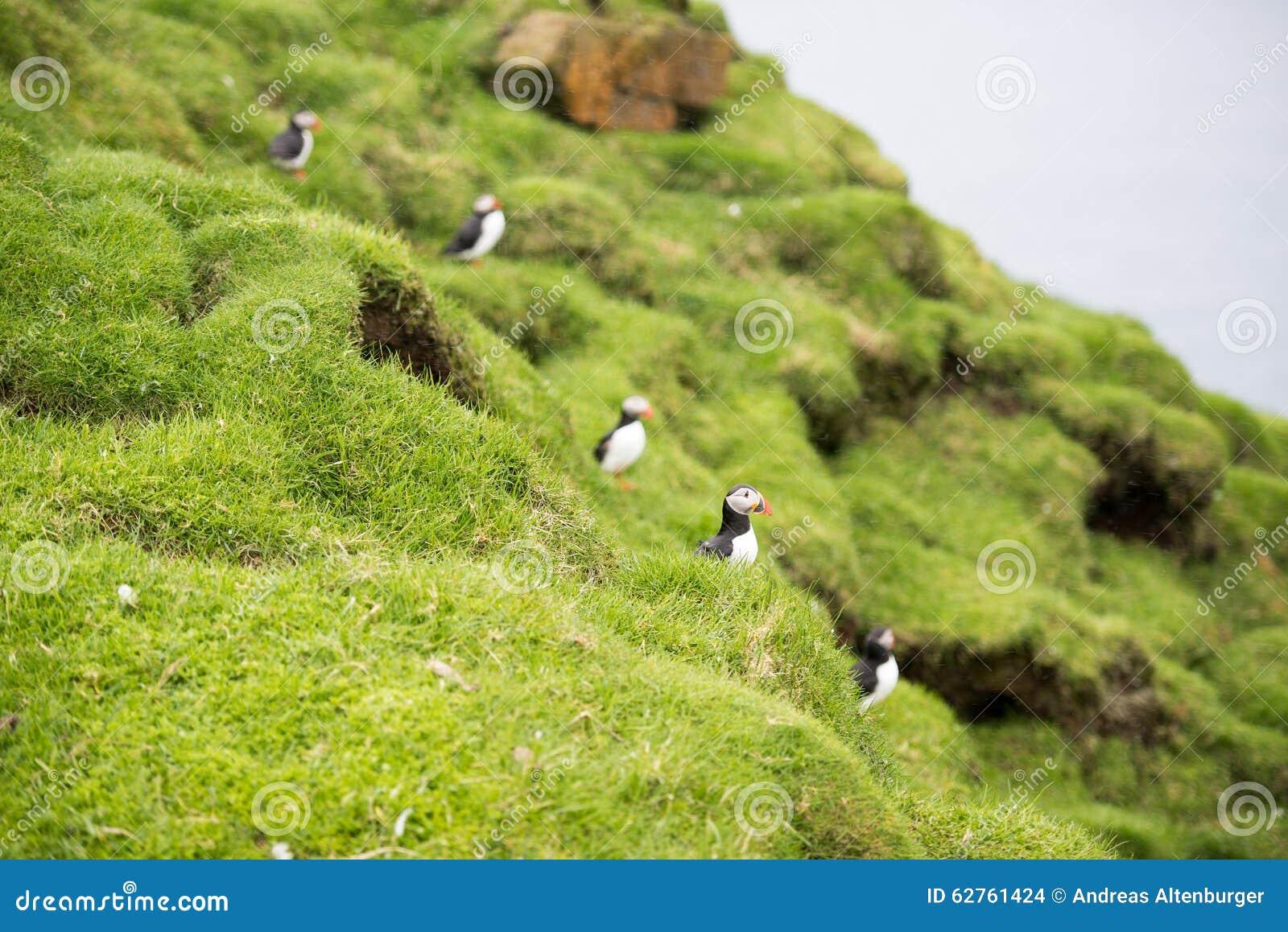 Macareux atlantiques, arctica de Fratercula dans sa colonie