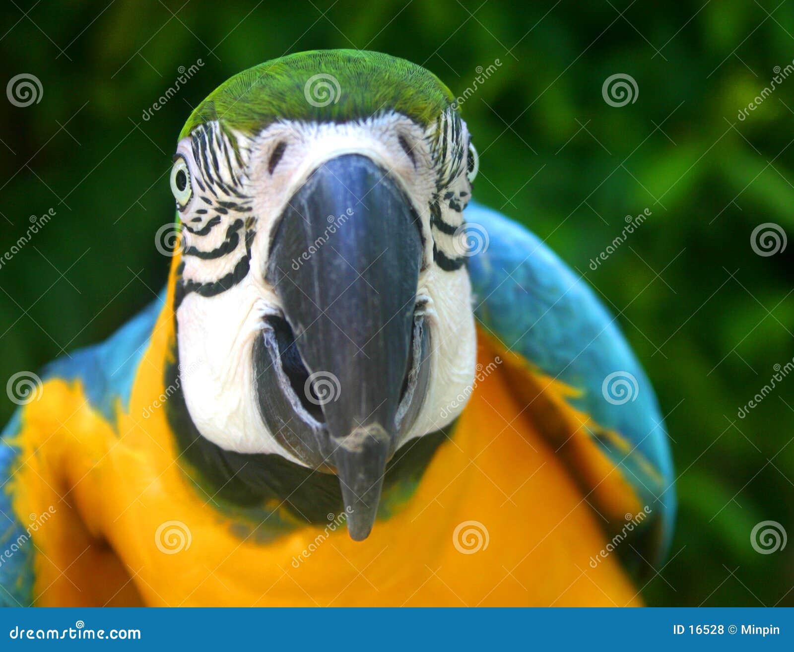 Macaw παπαγάλος