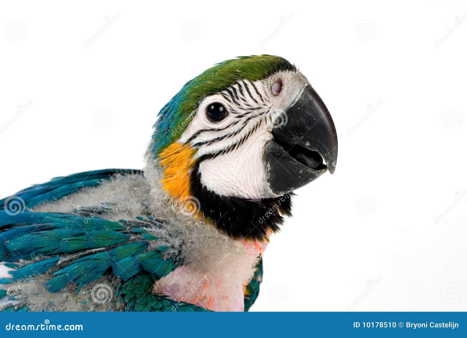 Macaw младенца