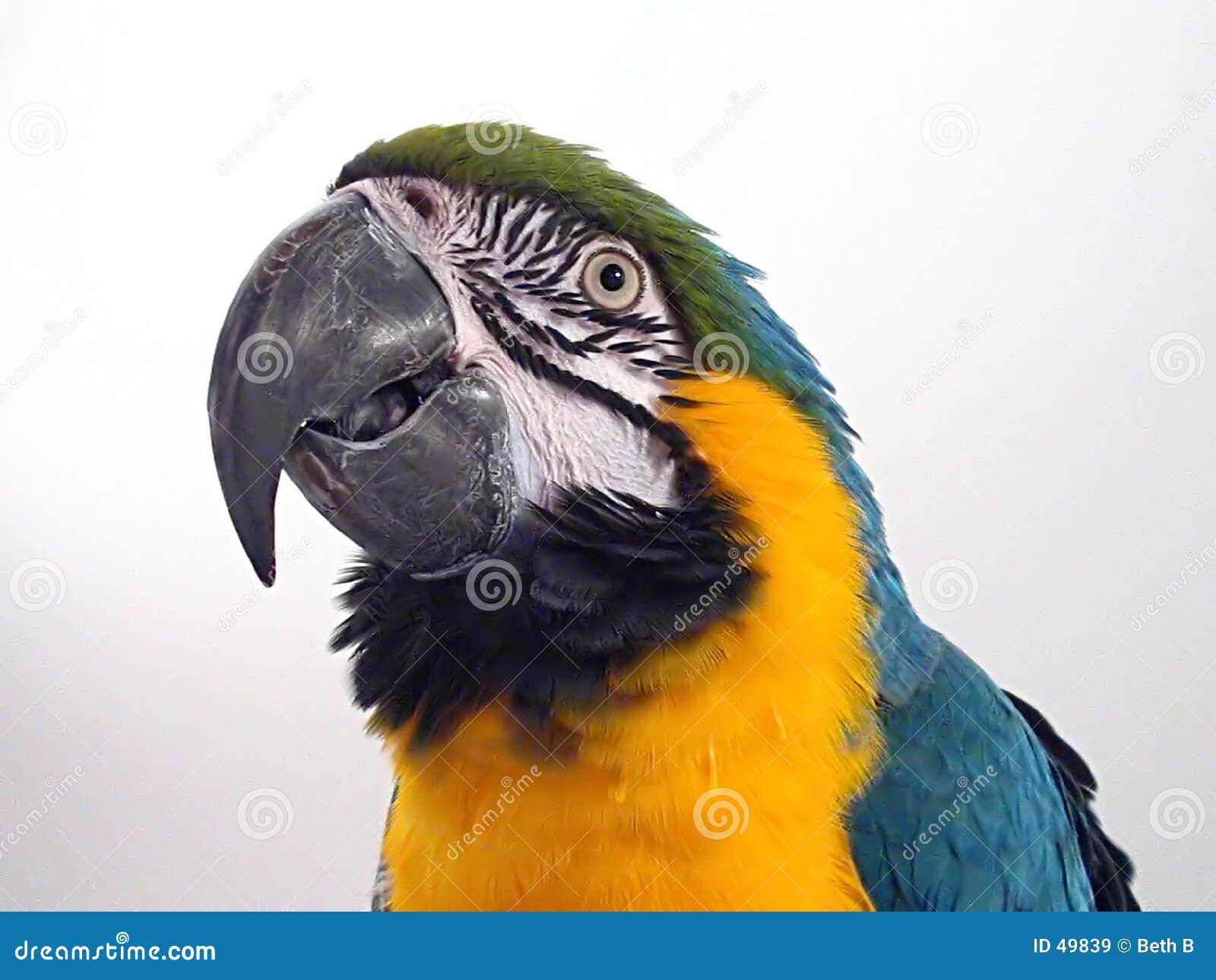 Macaw 2 do azul & do ouro