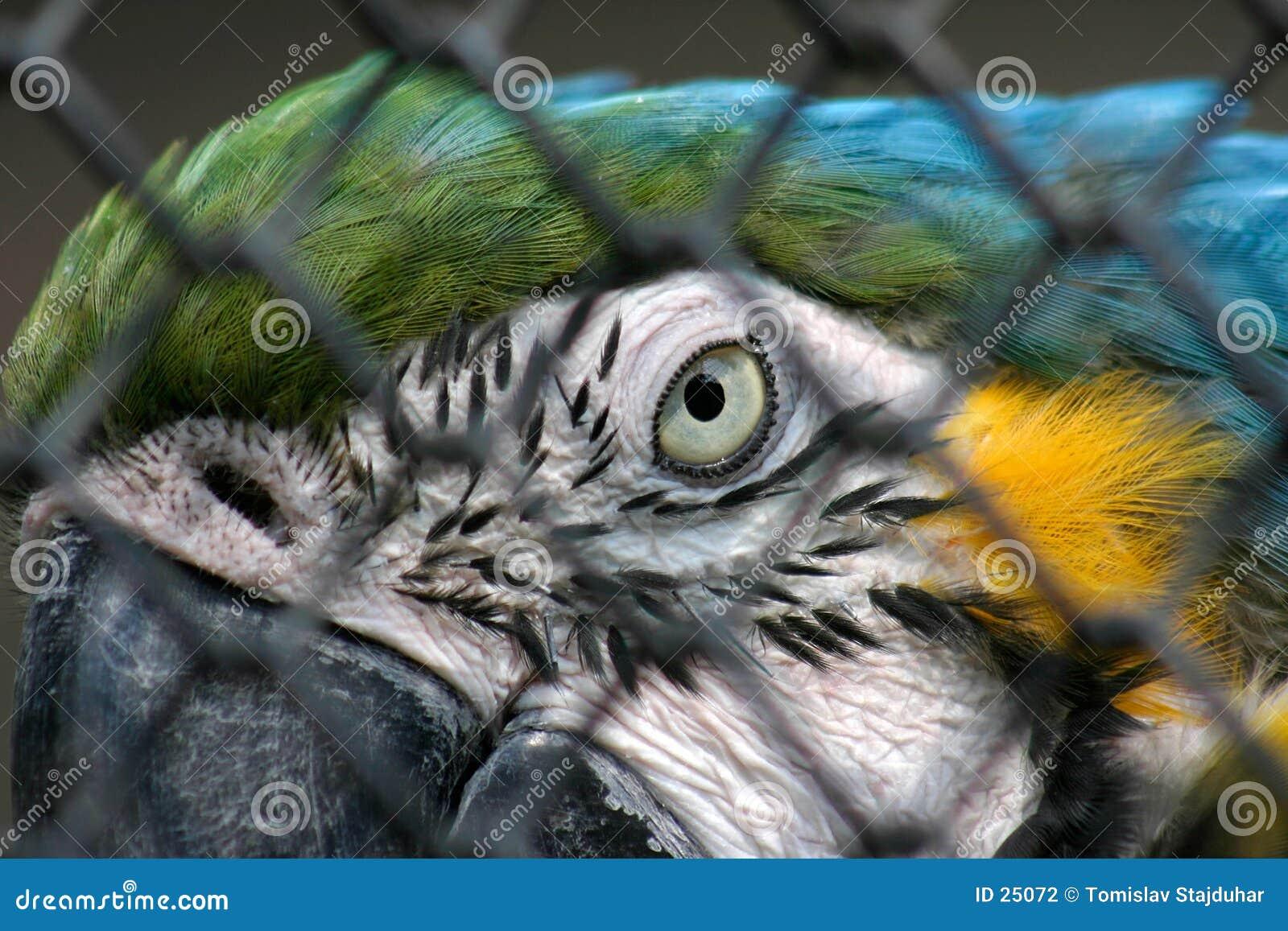 Macaw amarelo azul no captiveiro