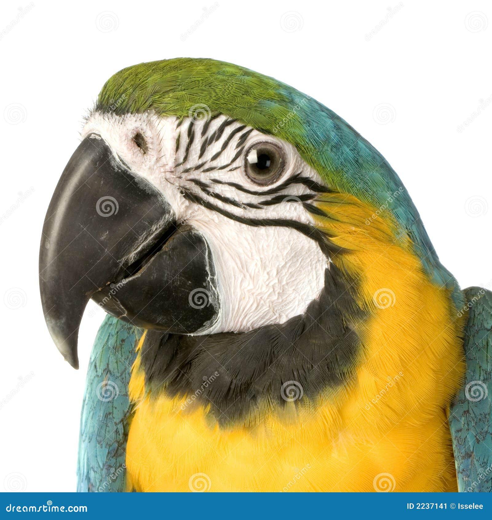 Macaw - ararauna d Ara