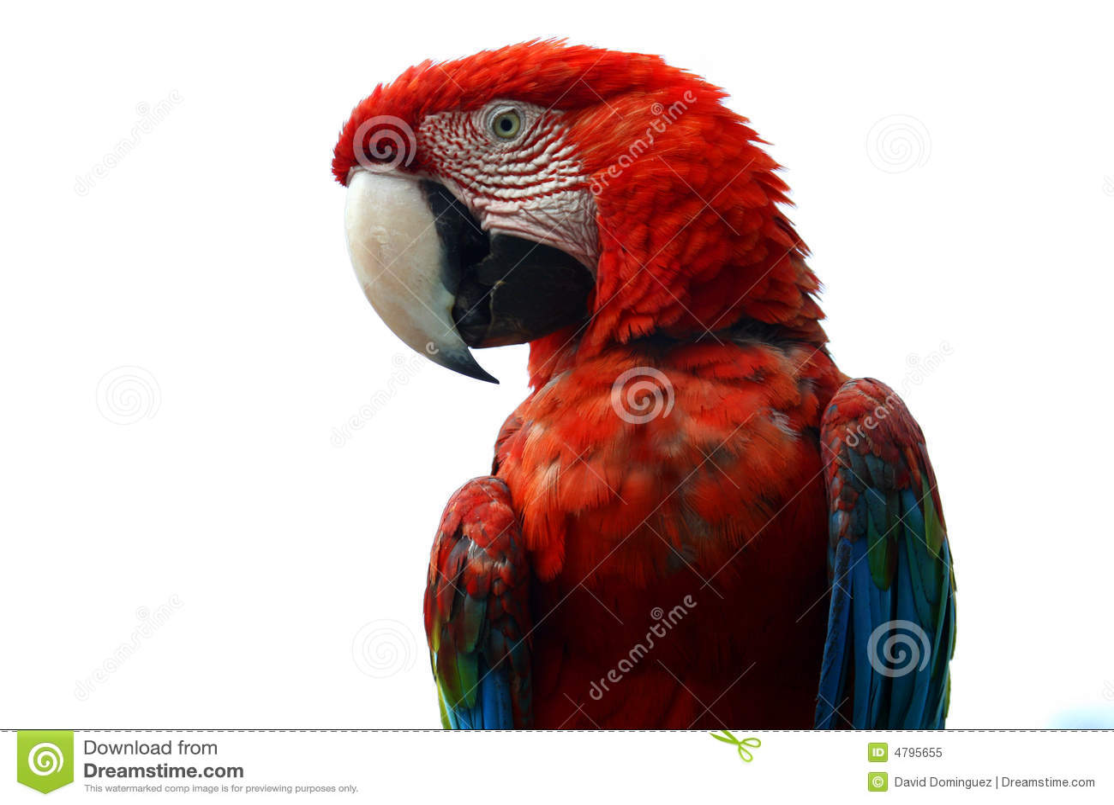 Macaw auf weißem Hintergrund
