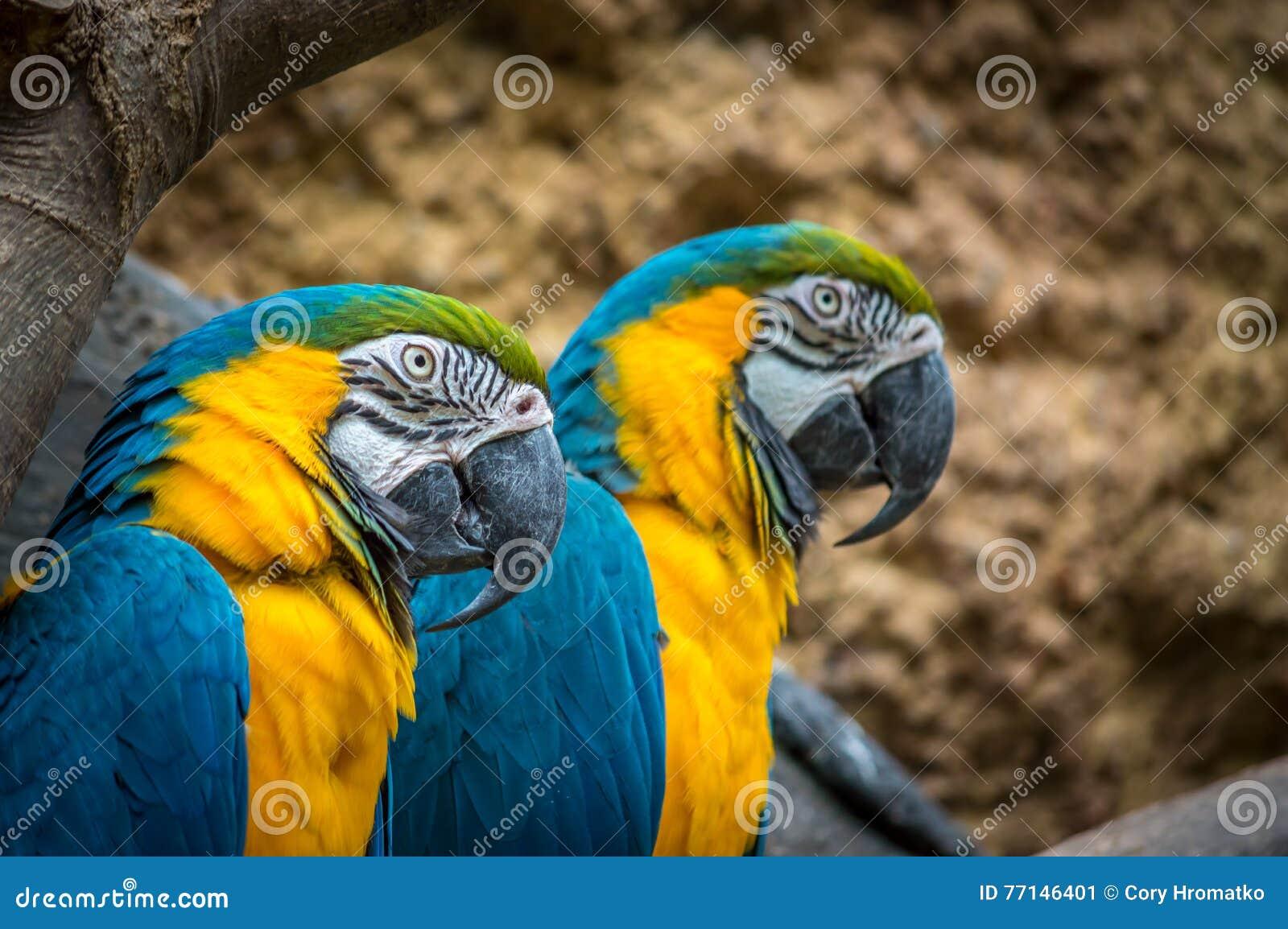 Macaw azul e amarelo