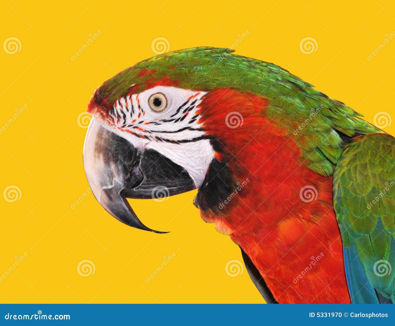 Macaw azul vermelho do papagaio