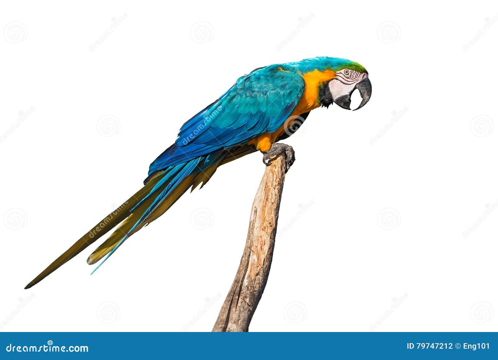 Macaw Azul-y-amarillo aislado en blanco