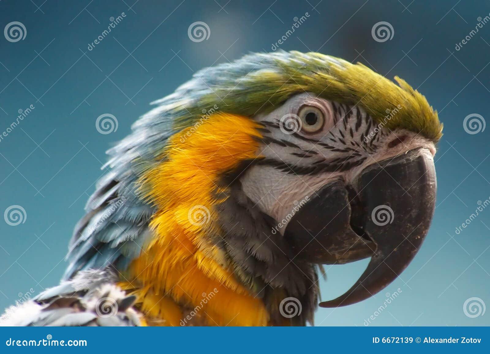 Macaw Bleu-et-jaune