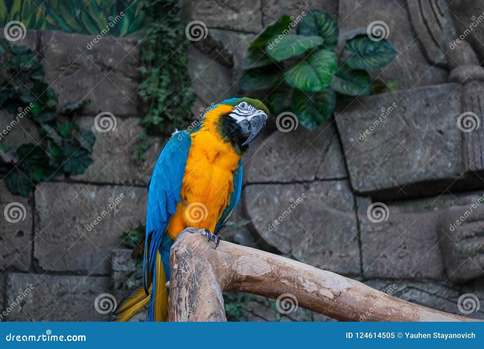 Macaw Bleu-et-jaune Beau perroquet d aras sur la branche d arbre sur le fond de jungle