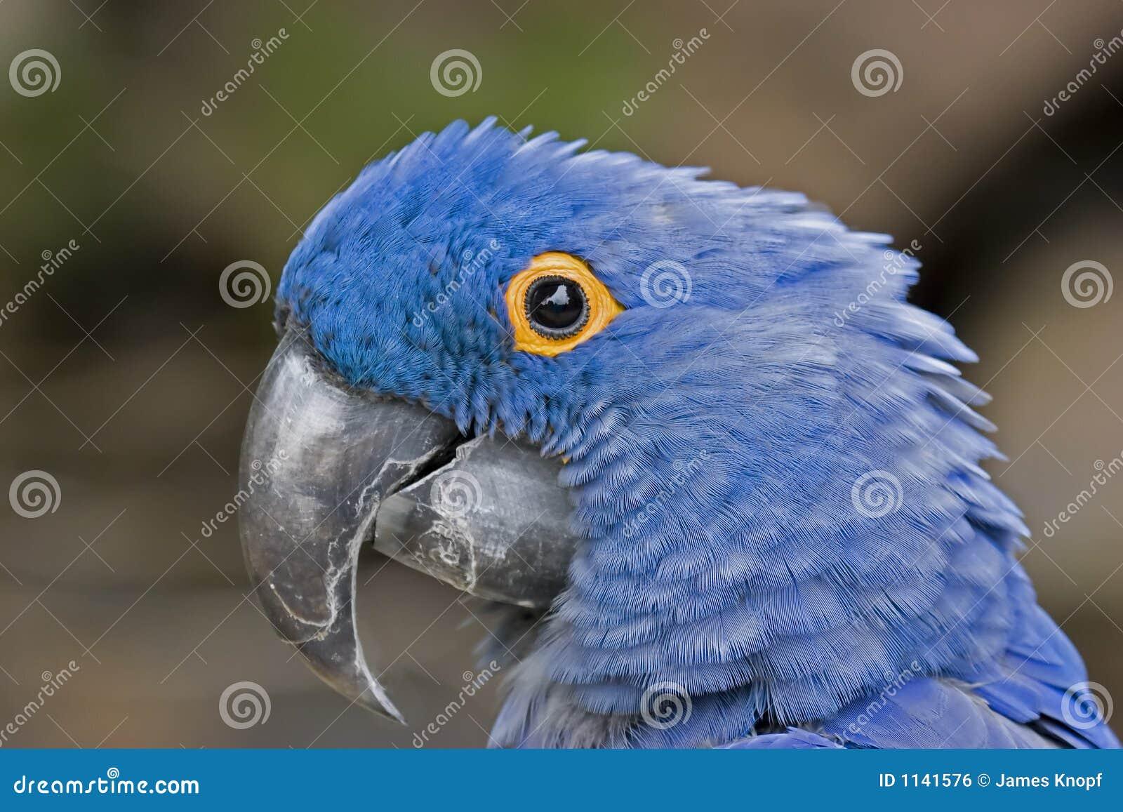 Macaw blu