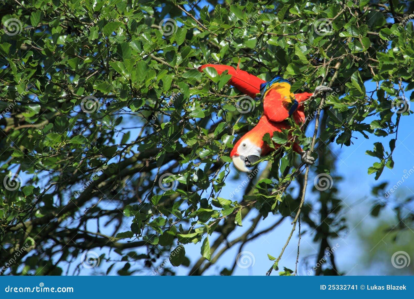 Macaw d écarlate