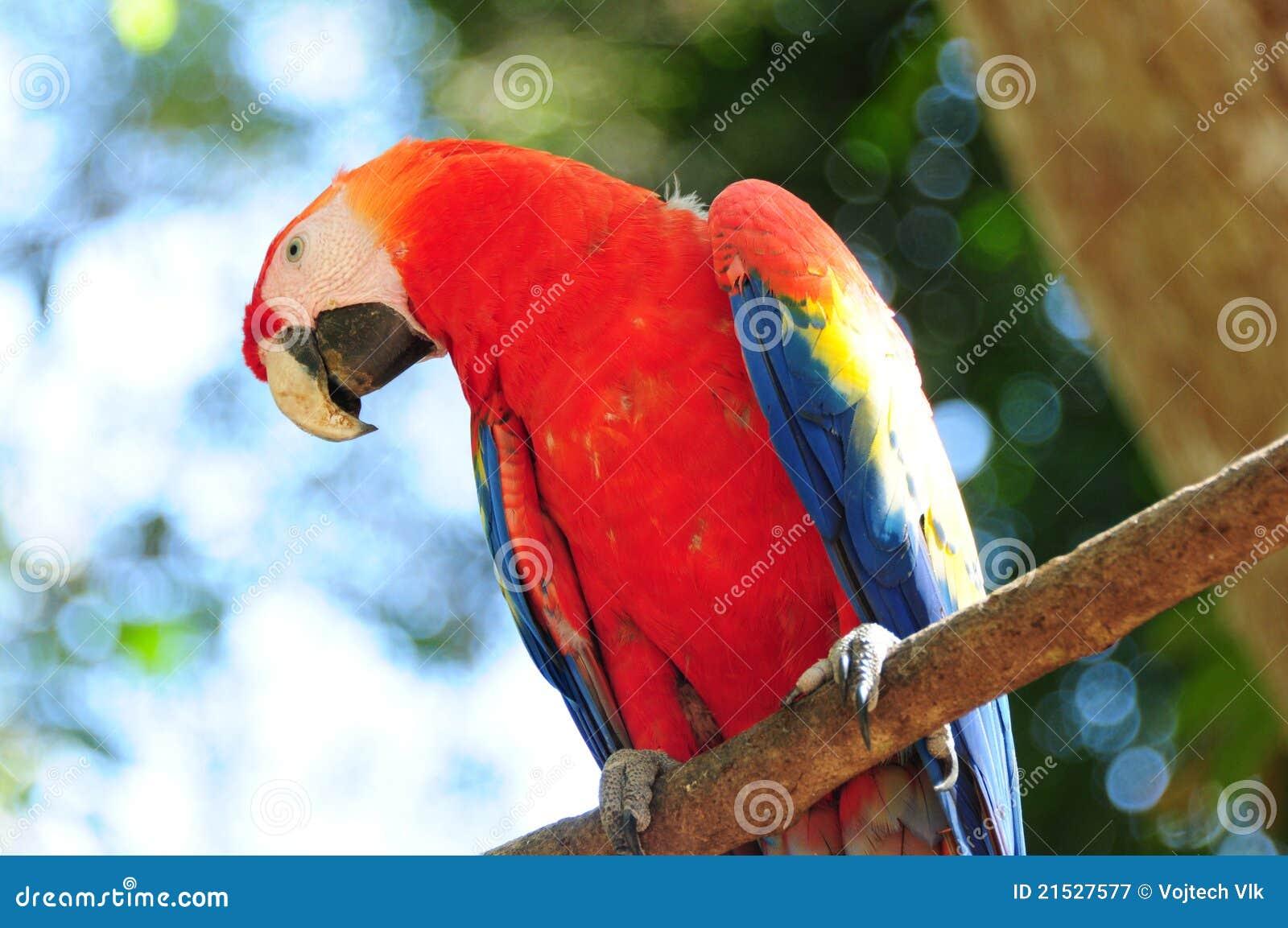 Macaw d écarlate au Honduras