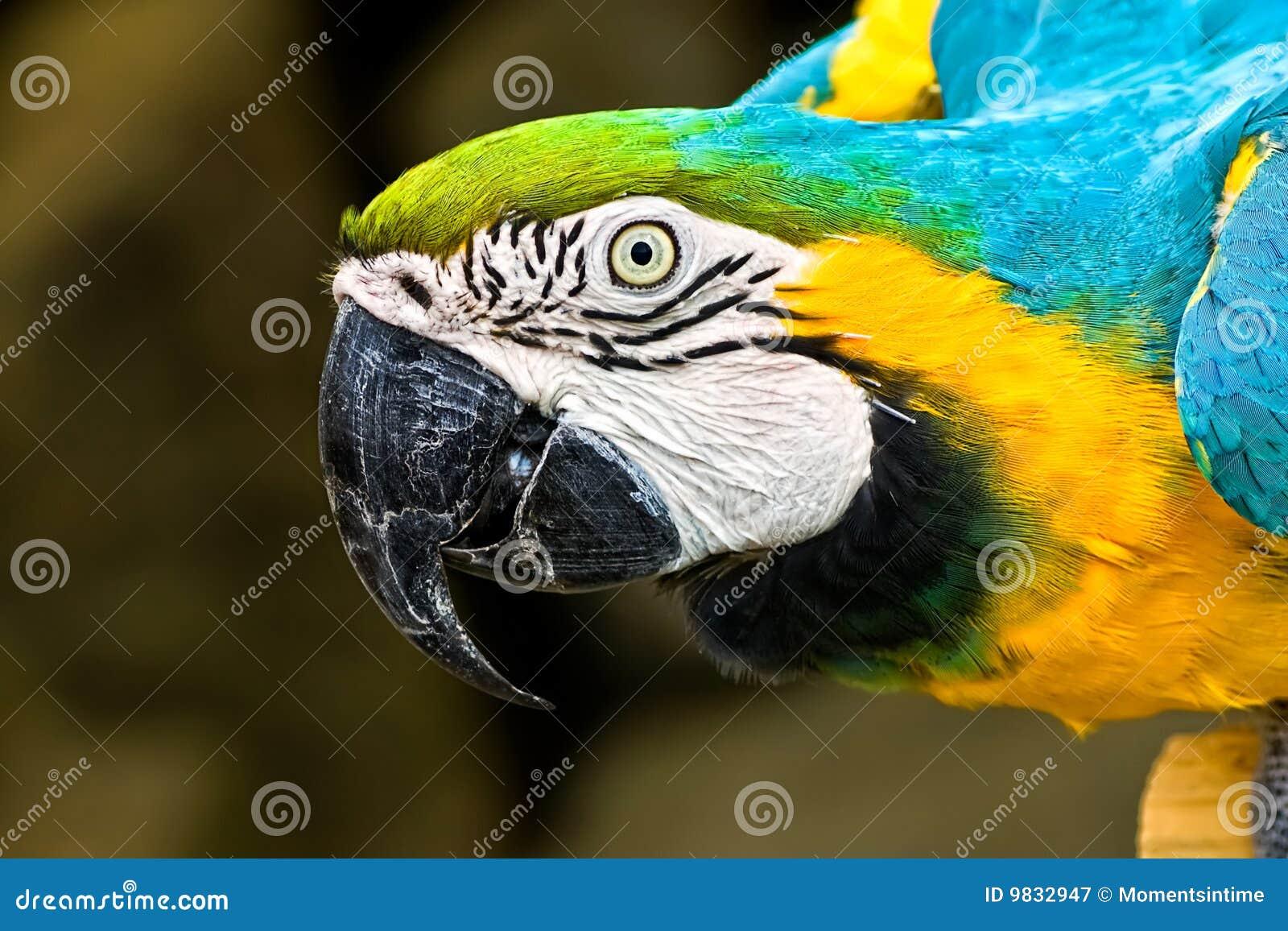 Macaw del azul y del oro