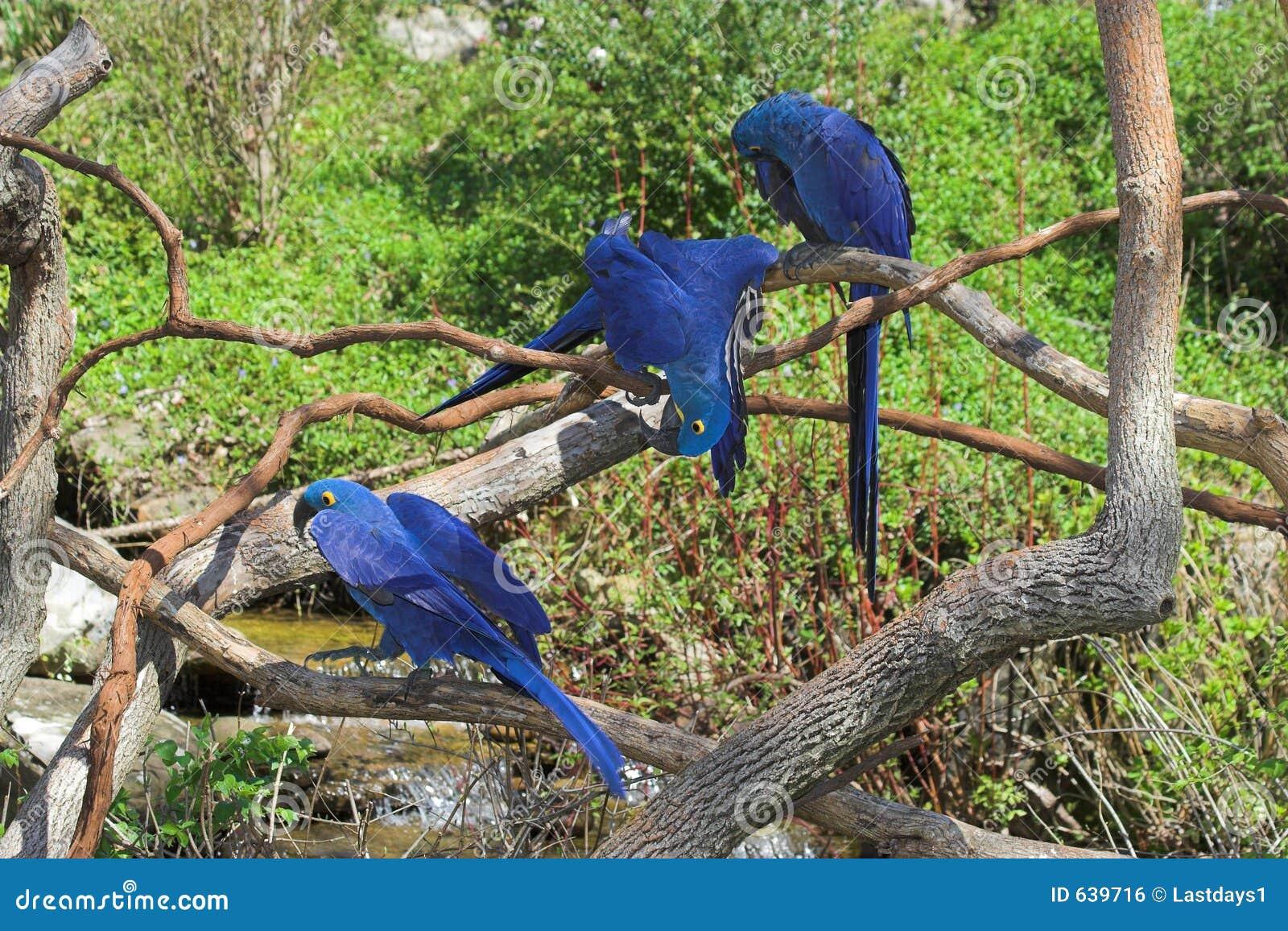 Macaw et amis de jacinthe