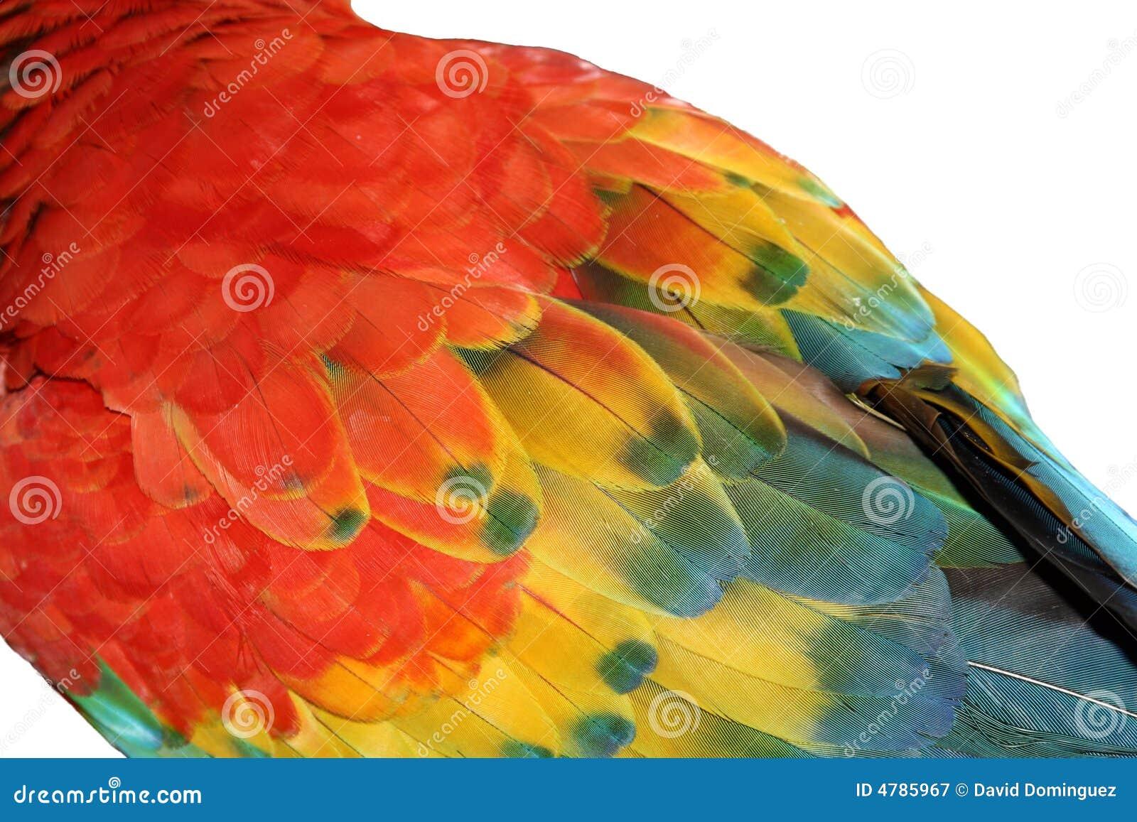 Macaw-Feder