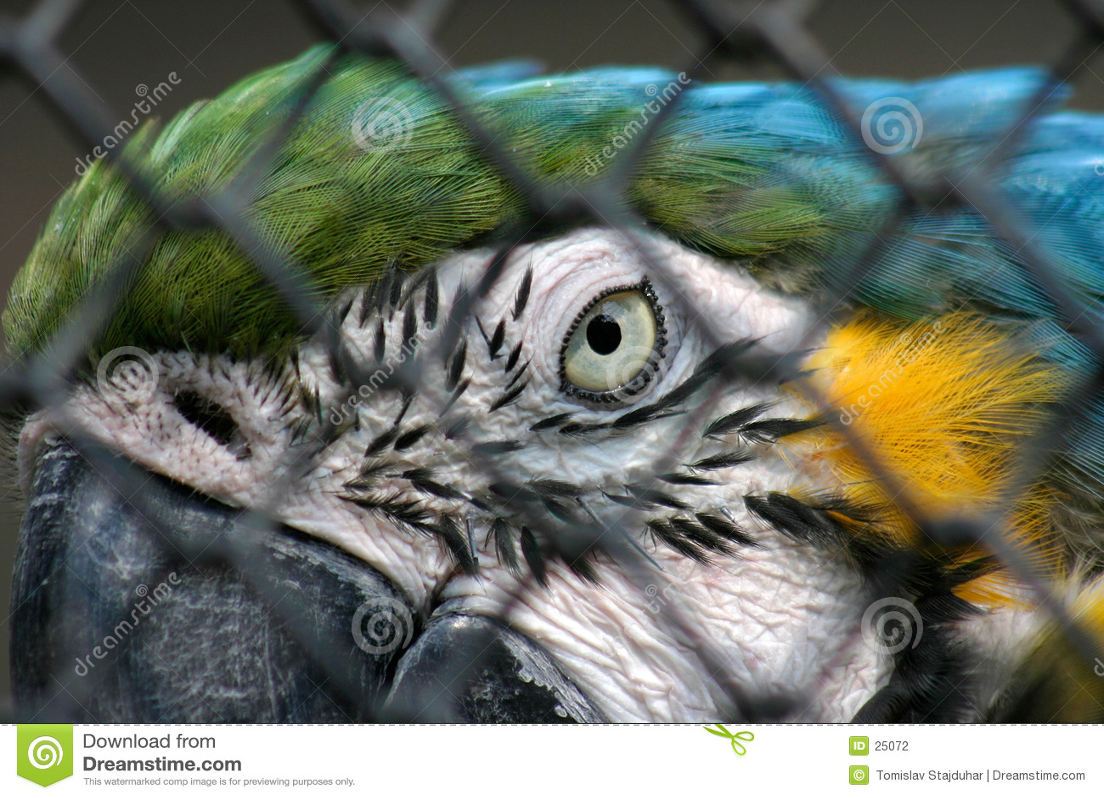 Macaw giallo blu nella prigionia