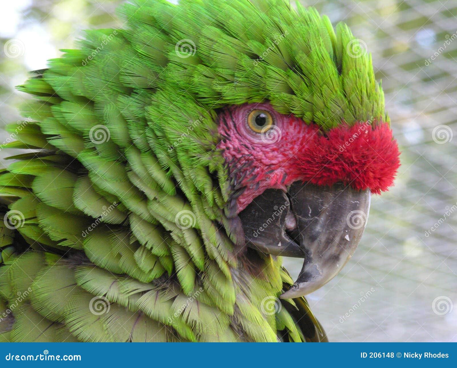 Macaw militare