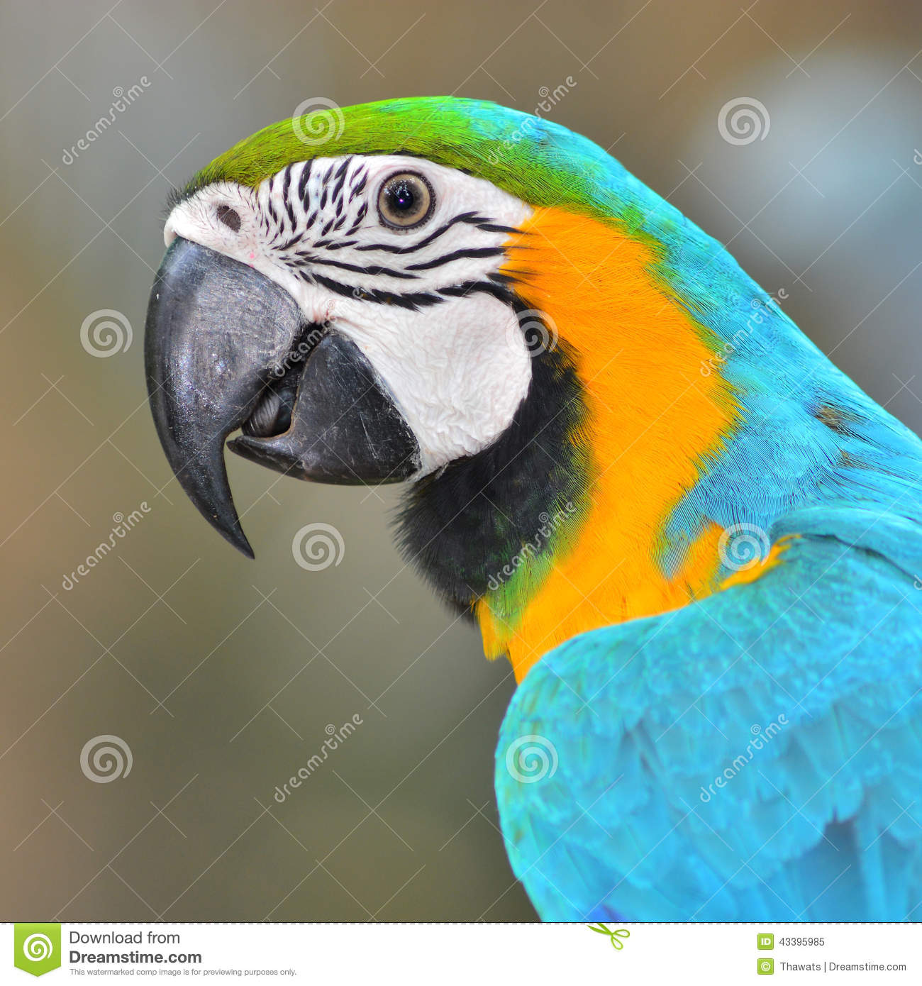 Macaw parrot stock image  Image of mate, blue, jungle - 43395985