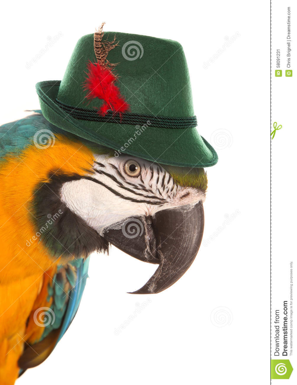Macaw parrot wearing a bavarian hat