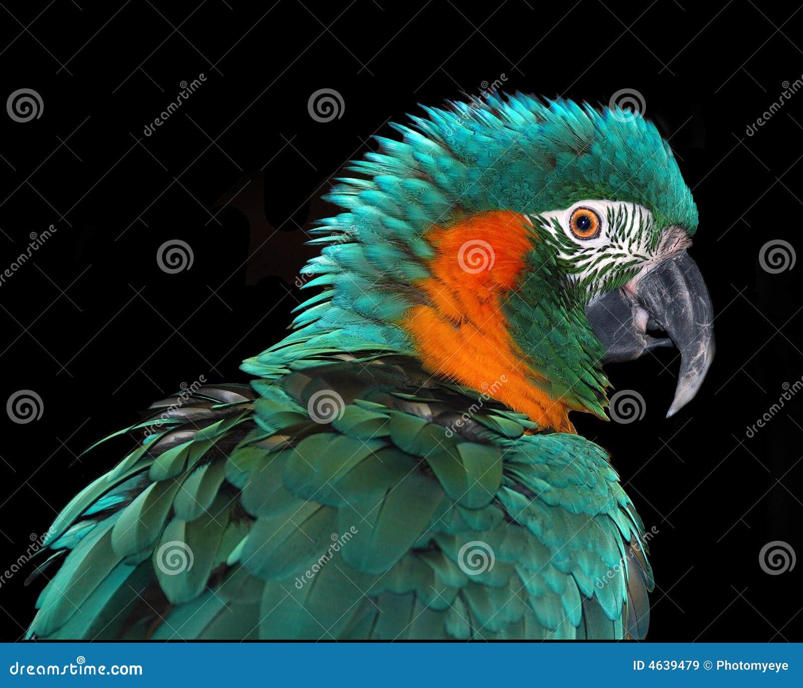 Macaw raro
