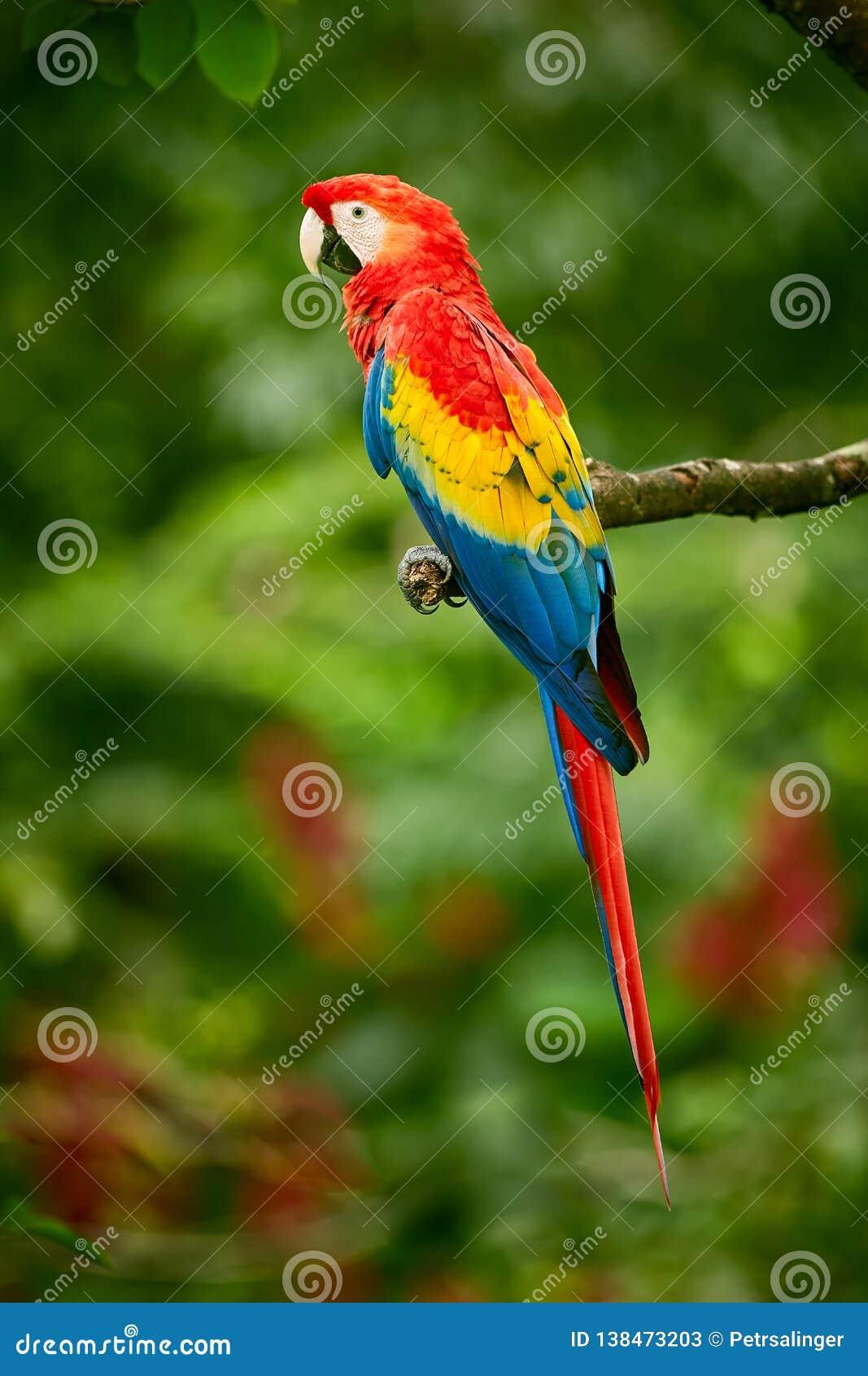 Macaw rojo del escarlata del loro del Macaw del loro, Ara Macao, en bosque tropical, Costa Rica